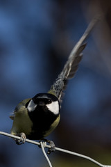 Msange charbonnire (Parus major) (Le No) Tags: bird 31 oiseau greattit parusmajor hautegaronne midipyrnes msangecharbonnire stlon lauragais passriformes collectionnerlevivantautrement parids fvrier2011