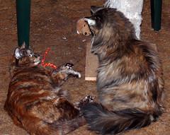 Talking It Over (Glenn Harris (Clintriter)) Tags: stella pets cute sisters cat toy post tortoiseshell together tortie maxine scratching cc100 velvetpaws catnipaddicts
