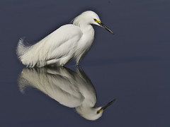 Snowy Egret [Explored] (Bob Gunderson) Tags: sanfrancisco california nature birds northerncalifornia wildlife snowyegret egrets birdwatcher egrettathula wadingbirds pier94 fantasticnature bestofblinkwinners