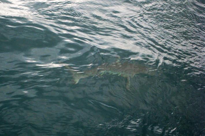 012511_ChampIsland_02_shark