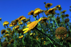 Flower under the big blue sky (Shahriar Xplores...) Tags: blue sky flower canon lens landscape image wideangle bluesky l dhaka usm sell bangladesh ef 1740mm gettyimages f40 aisa 550d canonlandscape canonef1740mmf40lusmlens requesttolicense shahriarphotography