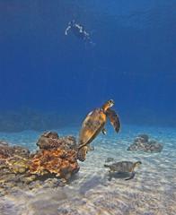 turtles and a snorkeler (bluewavechris) Tags: ocean life blue sea brown green nature water animal swim hawaii marine snorkel turtle reptile wildlife dive shell maui creature flipper