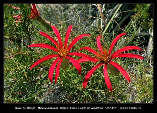Detalle de flores y follaje de Mutisia subulata