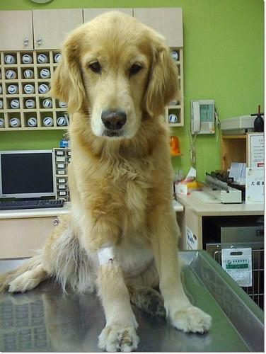 「支援找原主或認養」台北永和中山路和永真路口~拾獲醫治一半的黃金獵犬小姐~已完成手術,需要醫療支援,懇請幫忙~20110216