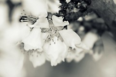 Softly (Msjunior- slowly catching up) Tags: trees bw blooms orchards magicunicornverybest itookthisontuesdayandthewindwasfiercethatdaysoalotofmyflowershotswereblurredouttodayitsrainingilovetherain doesntthatjustsoundsoromantic