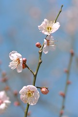 ume ~ Japanese apricot (snowshoe hare*) Tags: flowers 京都 ume 梅 plumblossoms japaneseapricot naturesfinest ウメ prunusmume 北野天満宮梅苑