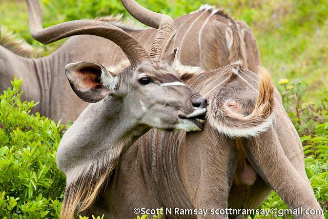 South Africa - KwaZulu Natal - iSimangaliso Wetland Park - Kudu