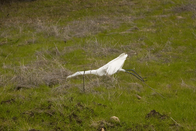 IMG_1830 Great egret catching a vole 2