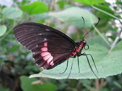 Vlinder (LeoKoolhoven) Tags: netherlands butterfly zoo nederland emmen 2010 vlinder dierentuin vlindertuin dierenparkemmen