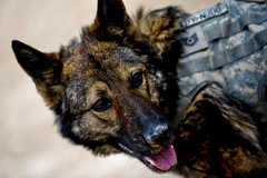 Edy, Explosive Detecting Dog (U.S. Central Command (CENTCOM)) Tags: afghanistan k9 centcom afg afcent oef operationenduringfreedom mwd zabul militaryworkingdogs uscentralcommand 1ctcs foblagman combatcamer msgtcadiz