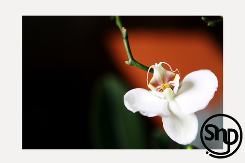 7 . orchid .