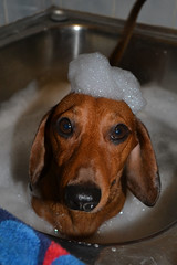 uboat (jr247.net) Tags: dog miniature bath sink time sausage bubbles dachshund hund dackel rommel doxie
