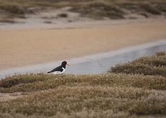 Oystercatcher (Kentish Plumber) Tags: holkham norfolk oystercatcher wader coast seaside sea sand dunes bird watcher nbw olympus gio zuikodigitaled50200mmf2835swd kentishplumber photography photos images
