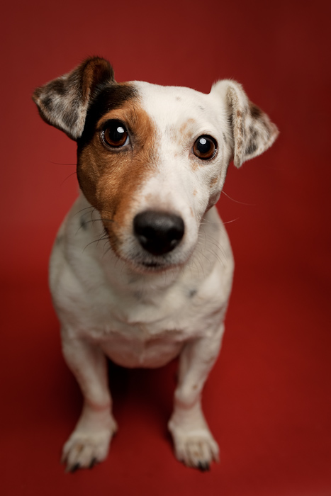 nosy jack russell