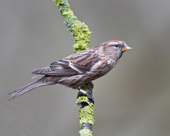 Wan't the ID read the bracelet :0) (Andrew Haynes Wildlife Images) Tags: bird nature wildlife warwickshire redpoll canon7d ajh2008