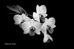 Recuerdos/Memories (Altagracia Aristy) Tags: blackandwhite blancoynegro amrica dominicanrepublic tropic caribbean orqudeas antilles caribe repblicadominicana trpico antillas ordchids quisqueya altagraciaaristy fujifilmfinepixhs10 fujihs10 fujifinepixhs10 caraib carabi