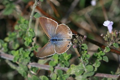 Long-tailed blue with open wings (raggi di sole) Tags: italy nature butterfly insect outdoors termini lepidoptera lycaenidae lampidesboeticus longtailedblue sorrentinepeninsula