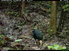 Greater Yellow-headed Vulture (siwild) Tags: largebirds greateryellowheadedvulture cathartesmelambrotus file:name=img0031jpg sequence:index=1 sequence:length=1 siwild:study=peruocelotsurvey siwild:studyId=arabelasets siwild:plot=arabela geo:locality=northernperu taxonomy:group=largebirds siwild:location=perulocj siwild:camDeploy=perudeploy21 sequence:key=1 siwild:region=peru taxonomy:species=cathartesmelambrotus taxonomy:common=greateryellowheadedvulture siwild:date=200805201059400 siwild:trigger=perubirdstaff2109 siwild:imageid=7009 sequence:id=perubirdstaff2109 file:path=epuntoj519617peru19img0031jpg BR:QCID=5493183727 BR:batch=sla1220110304035457 siwild:species=333