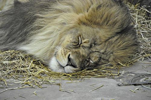 Sleeping Male Lion