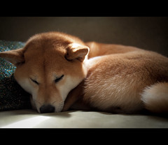 Lazy Shiba (kaoni701) Tags: dog digital pen puppy panasonic suki shibainu shibaken  20mmf17 epl2