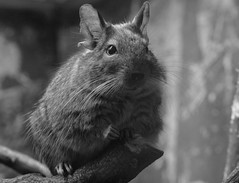 Black and white (katrin glaesmann) Tags: bw animal fur mammal zoo rodent hannover degu schwarzweis octodondegus takenthroughawindow gewhnlicherdegu