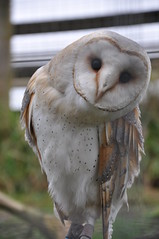 A Barn Owl Eyeing Us Up