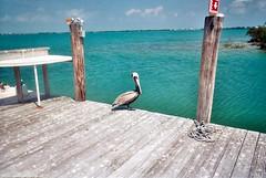 Disposable (katherine.anne.) Tags: ocean summer film keys florida pelican disposable seacamp