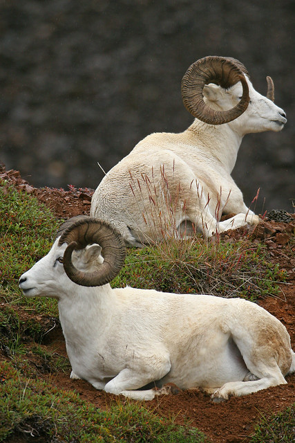 Dall sheep-12.jpg
