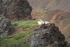 Dall sheep-4.jpg