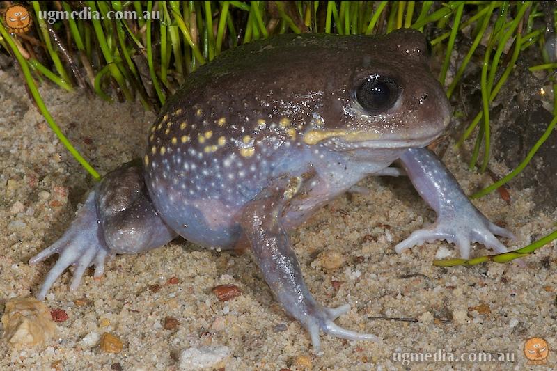 Giant burrowing frog (Heleioporus australiacus)