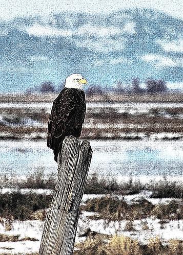5x7 Bald Eagle fract IMG_0834