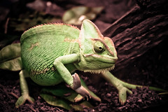 A-48/365 (ashleiggh) Tags: pets color tree green colorful branch reptile lizard scales gecko petstore camelion scaley