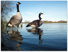 Geese are pairing up again! (macfudge1UK) Tags: uk england lake bird fauna spring europe wildlife ngc lakeside waterfowl oxfordshire canadagoose brantacanadensis avian oxon 2011 stantonharcourt allrightsreserved hs10 bbcspringwatch countryfile theunforgettablepictures 100commentgroup fujifilmfinepixhs10 fujihs10 rspblovenature