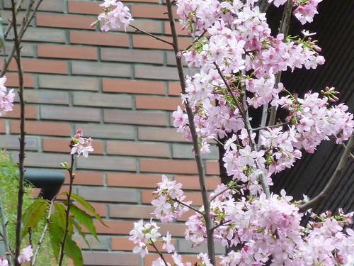 Taipei。sakura。藏在巷弄人家中的一株櫻花樹