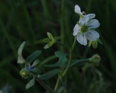 Nemophila sp.? (Tom Hilton) Tags: color wildflowers pholistoma hydrophyllaceae windwolvespreserve pholistomamembranaceum