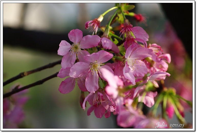 櫻花 (6)