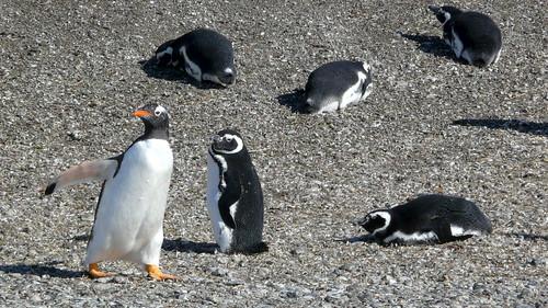Spéciale dédicace aux Smiliens, éleveurs de pingouins depuis 20 ans !