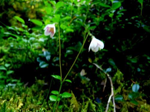5 Linnaea borealis = Linnée boreale