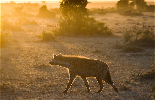 Sunrise Hyena by GeoffSJG