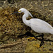 Snowy Egret jpg