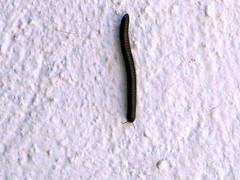 100_9776 (Cassiope2010) Tags: nature cvennes invertbr millipederamper