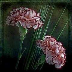 Happy Birthday Itala !! Feliz Aniversrio querida Itala !! (Martha MGR) Tags: pink flores nature 1000views mmgr flickrflorescloseupmacros canoneosdigitalrebelxs marthamgr marthamariagrabnerraymundo marthamgraymundo