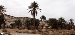 Old Palms (Mansour Al-Fayez) Tags: trip travel mountain home beautiful beauty canon wonderful nice interesting sand desert action explore saudi 5d ksa qassim mansour    canon5dmarkii