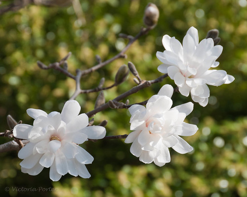 Star Magnolia blossoms against a green bokeh...