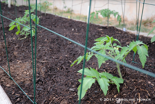 Tomatoes in cages