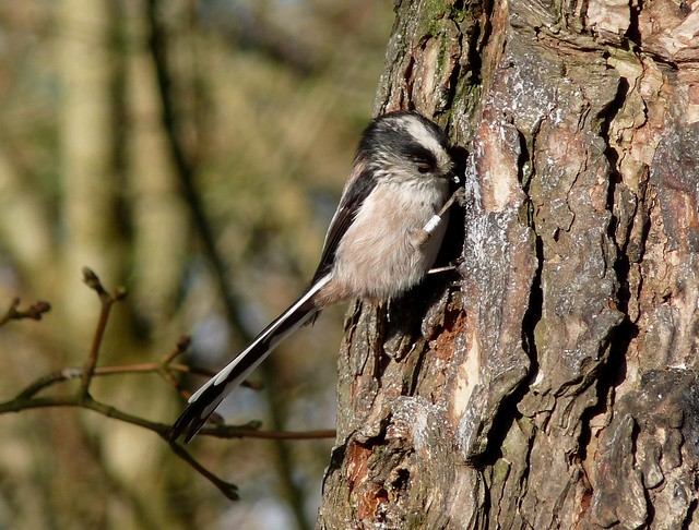 24024 - Long Tailed Tit, WWT Llanelli