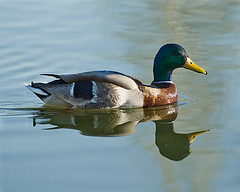 reflected duck / pato reflejado (manolo guijarro) Tags: reflection duck pond nikon reflected amarillo pico pato reflejo estanque reflejado d700 nikkor70300mmf456edifvr