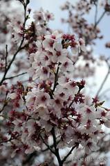 Tokyo, Japan  (Ari Helminen) Tags: life park parque flower tree japan relax tokyo nikon shinjuku peace  sakura  koen japon ari perfection japani puisto tokio shinjukukoen kirsikkapuu helminen d300s nikond300s arihelminen aginorz tokyoinphotos