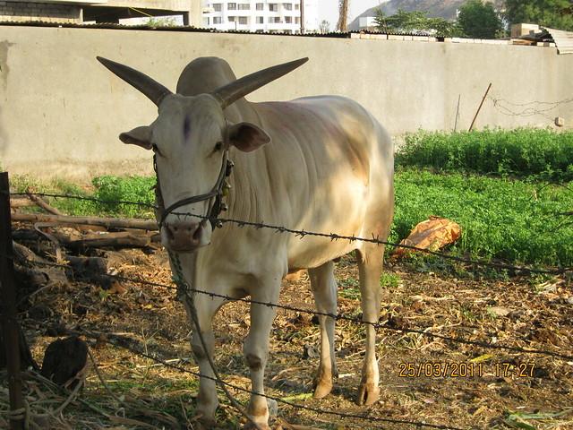 A bull near Runwal Swaranjali in Prathamesh Park, Balewadi Phata, Baner Pune