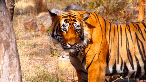 Tiger in Ranthambore, for 'bjoern'
